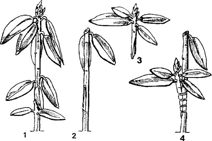 Боковая прививка рододендрона черенком в приклад