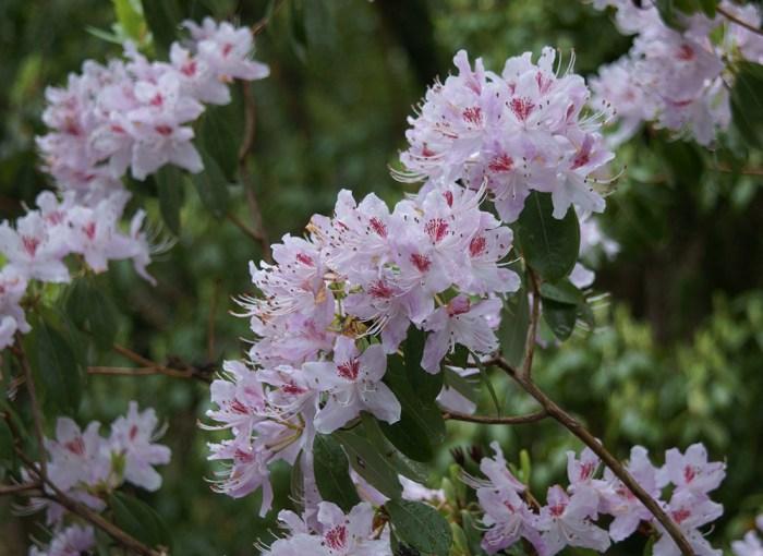 Rhododendron rigidum