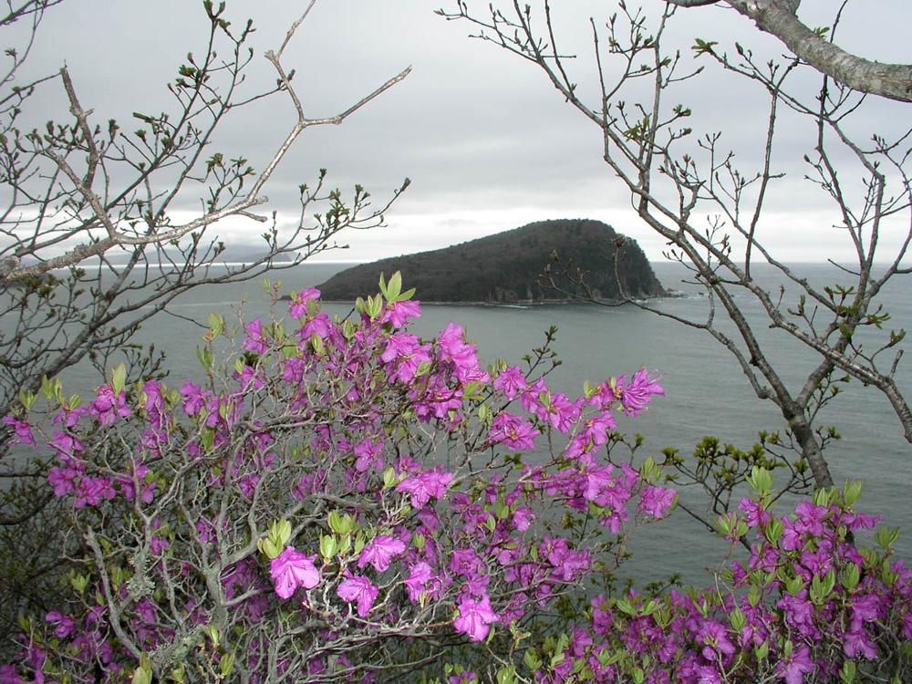 Rhododendron sichotense - рододендрон сихотинский