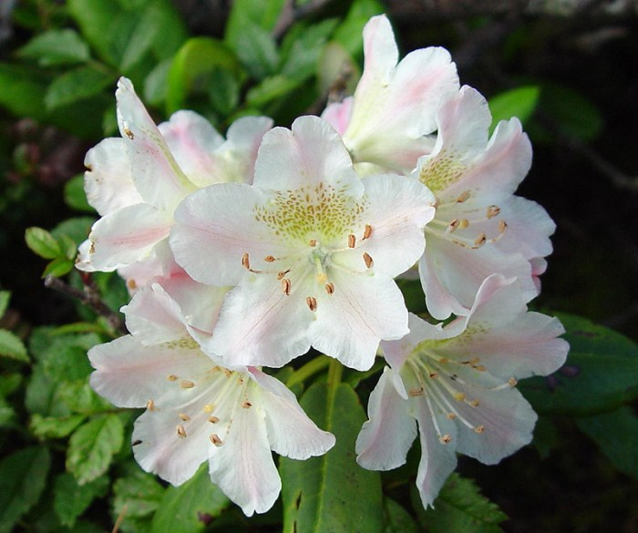 Rhododendron brachycarpum