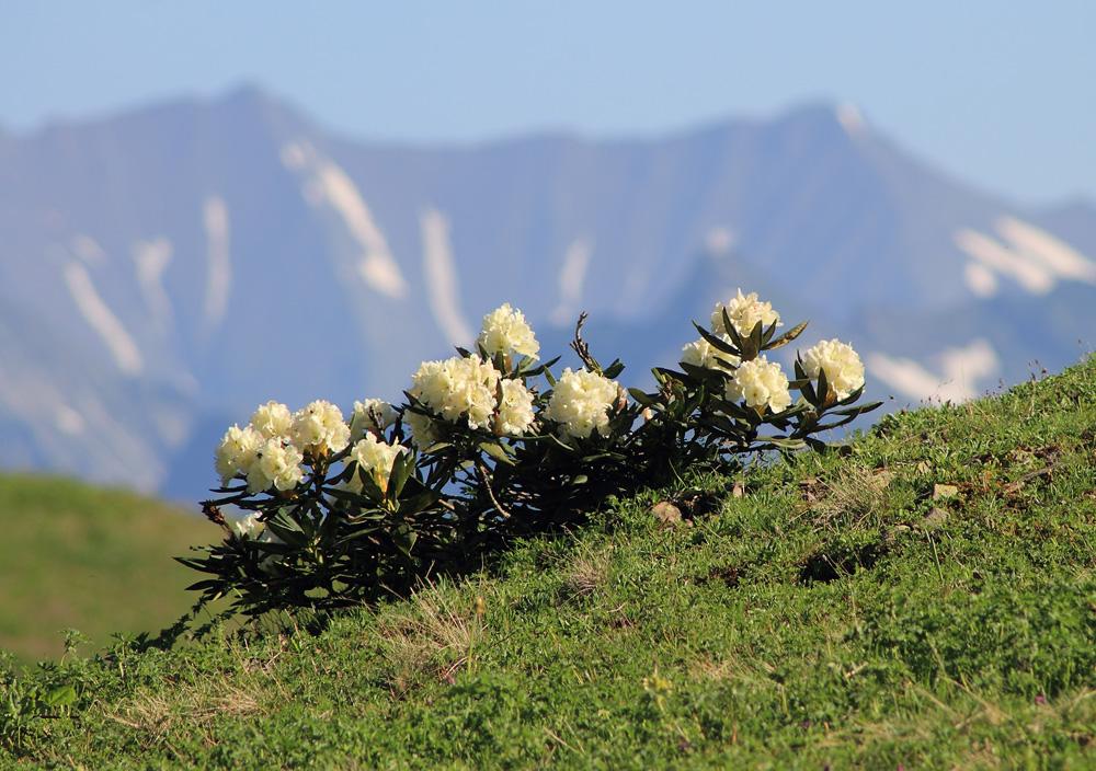 Rhododendron caucasicum рододендроны