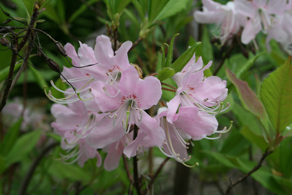 Rhododendron vaseyi - рододендрон Вазея