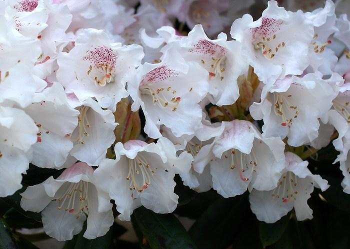 Rhododendron wardii var. puralbum