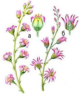 Цветки черной смородины. Слева: здорового растения. Справа: пораженного махровостью черной смородины.