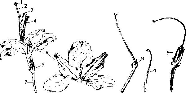 Строение цветка вечнозеленого рододендрона