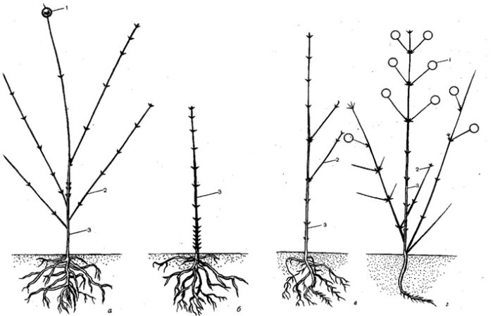 сеянцы клематиса