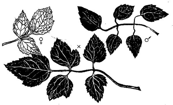 Гетерозис листьев у межвидовых гибридов клематиса