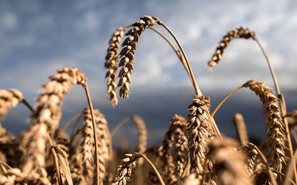 Резултат с изображение за wheat