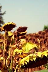 EasternEuropeSerbiaSunflowers
