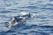 Delfín listado (Stenella coeruleoalba)