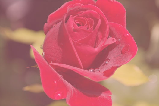 rose petal witch hazel
