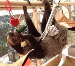 森泉さんが飼っているナマケモノのモグちゃん