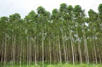 Planted eucalyptus tree - Is eucalyptus wood good for outdoor furniture