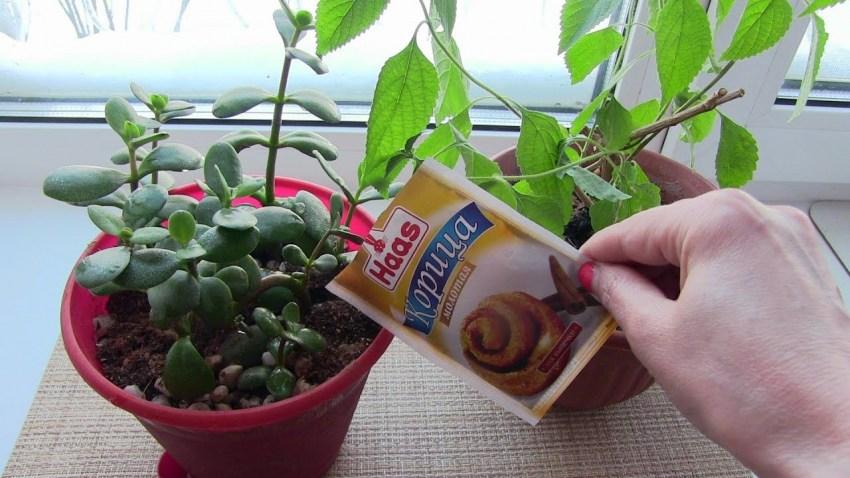 Mitä tehdä kääpiöistä kukkaruukkuissa  Musta kärpäsiä
