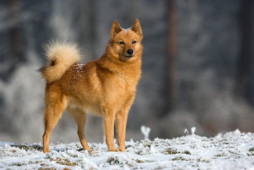 Cute Haunter Wallpaper Finnish Spitz History Personality Appearance Health And
