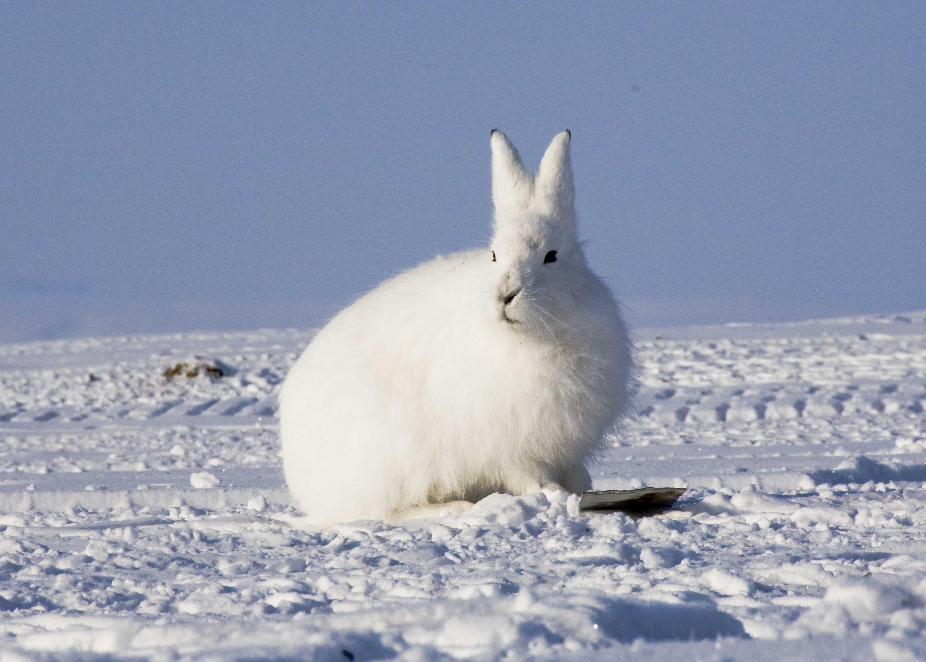 polar bear fur diagram 3 phase start stop switch wiring arctic hare facts history useful information and amazing