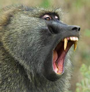 Image result for male baboon