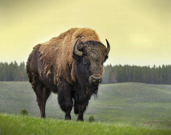 Bison Facts History Useful Information and Amazing Pictures