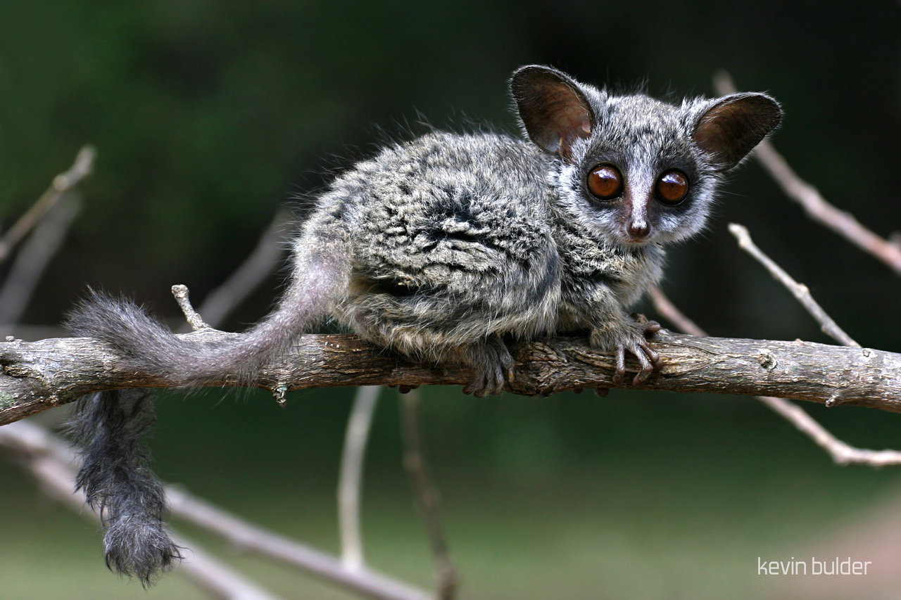 Cute Baby Lizards Wallpaper Bushbaby Facts History Useful Information And Amazing