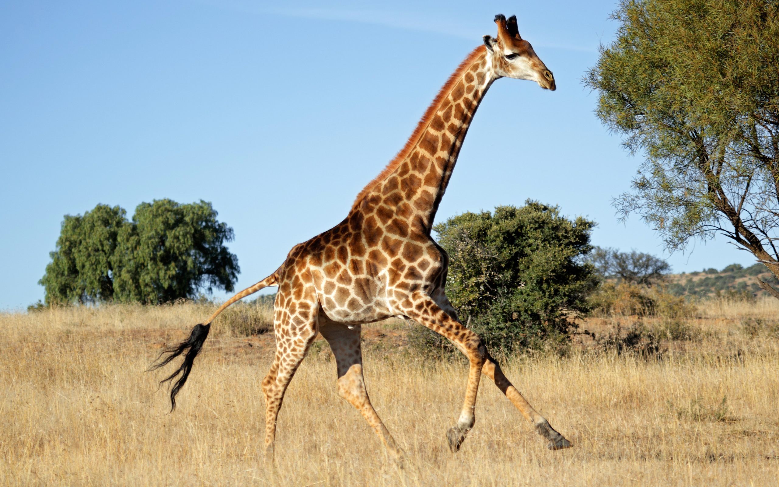 Giraffe Facts History Useful Information And Amazing