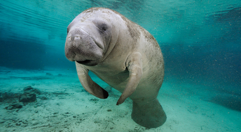 Falling Water Wallpaper Manatee Facts History Useful Information And Amazing