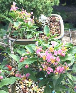 Dwarf Barbados Cherry In Four Inch Grow Pot Elemental Bonsai Tea Garden