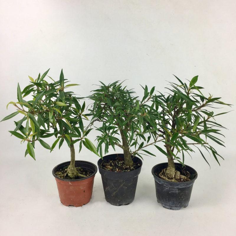 Ficus Willowleaf Ficus Nerifolia In Four Inch Grow Pot Elemental Bonsai Tea Garden