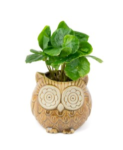 A picture of the front view of coffee planted in a small brown owl planter.