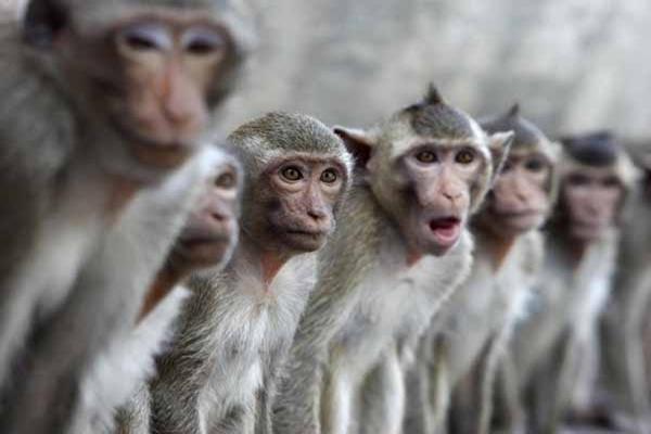 Neverovatna naučna otkrića u koja je teško poverovati Makaki majmuni