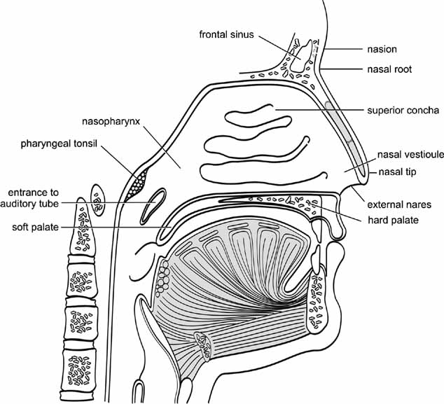 diagram of the human nose porsche 964 wiring elements morphology malformation terminology anatomy
