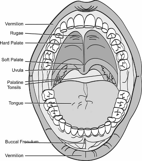 diagram of teeth and their numbers hei distributor rev limiter elements morphology: human malformation terminology