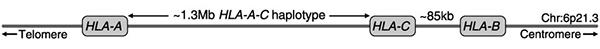 Упрощенная схема участка шестой хромосомы, содержащего гены ГКГ классаI. Рисунок из обсуждаемой статьи в Science