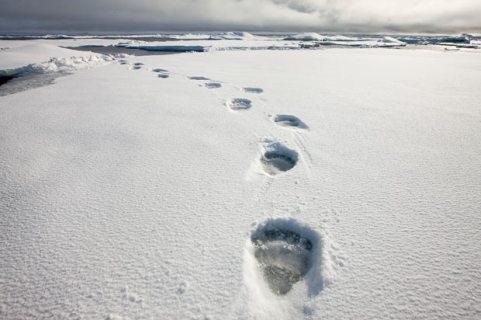polar-bear-prints_1599248i