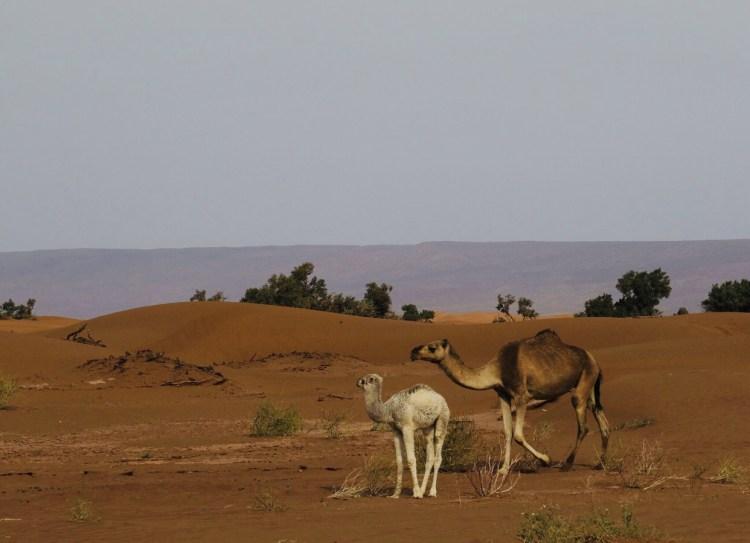 Due cammelli nel deserto del Sahara