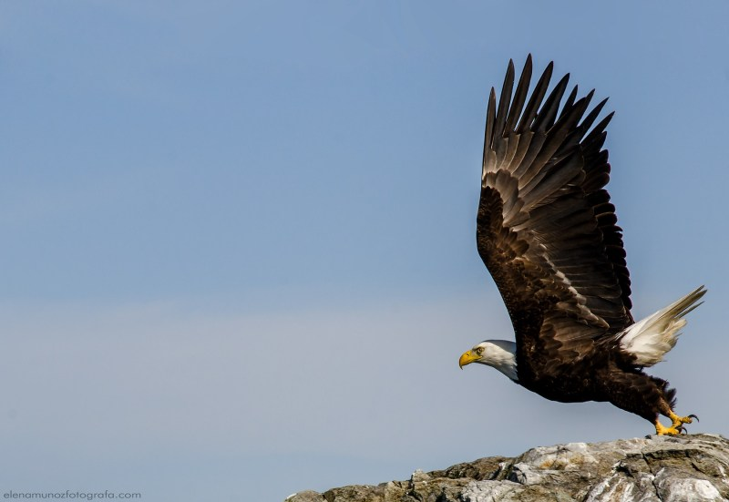 Aguila a punto de despegar