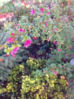 Tiny hardy fuchsia