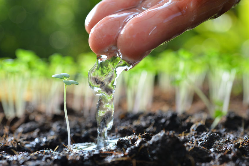 57145233 - farmer's hand watering a young plant