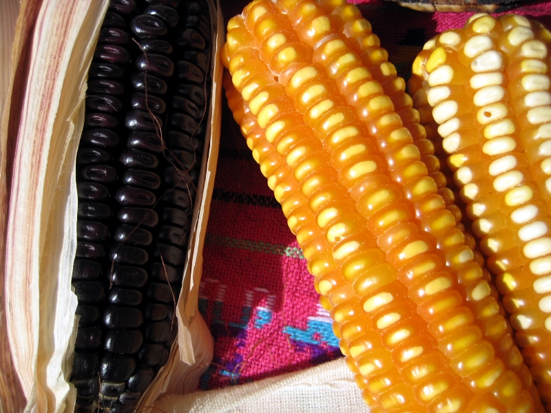 Close up of Oaxacan native corn.
