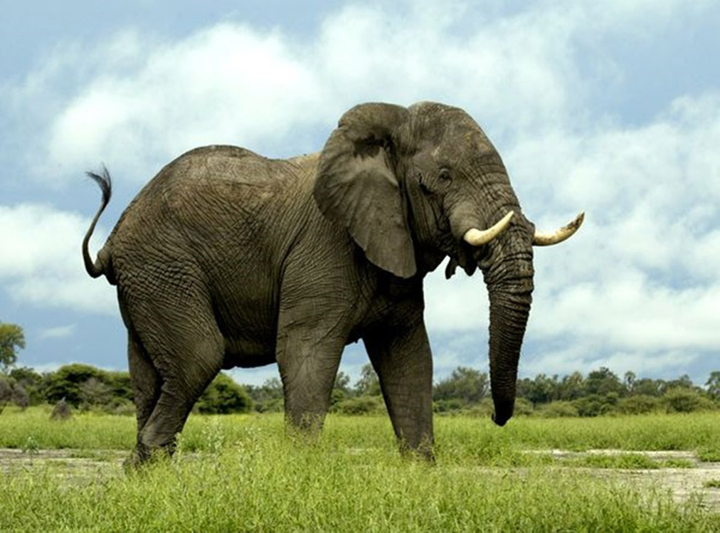 elephant weight facts about
