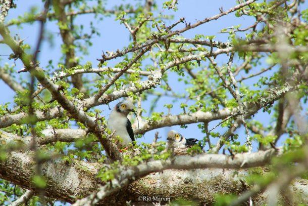 White-crested Helmet Shrike