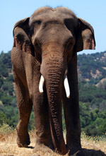 Prince : Elephant of the Week at PAWS – Performing Animal Welfare Society : Elephas Maximus
