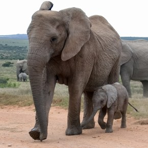National Elephant Appreciation Day 22 September 2015
