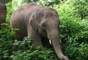 Jungle Boy : Elephant of the Week at Elephant Nature Park : Thong Suk