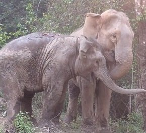 Elephant Nature Park Reunites Mother Elephant With Her Baby After Years Apart
