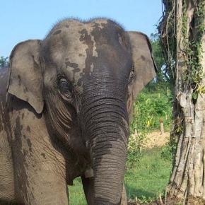 Lom : Elephant of the Week at Boon Lott's Elephant Sanctuary : Umbrella