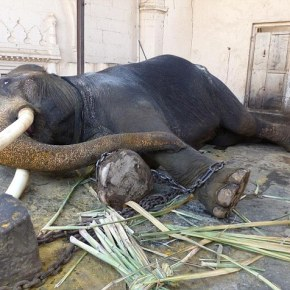 Suraj the One-Eared Indian Temple Elephant RESCUED After Confined and Suffering in 12 Foot Square Room For 20 Years