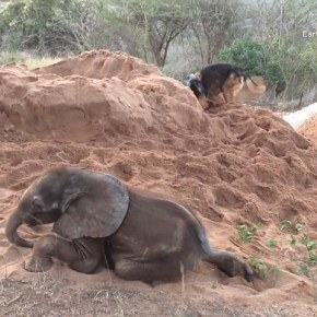 The Story of Duma and Ellie : How a German Shepherd Canine Gave an Ailing African Baby Elephant the Will to Survive