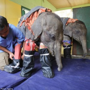 Jammies, Sleep Socks & Over Boots For an Elephant? How Rupa & Aashi, Two Orphaned Baby Indian Elephants, Find Comfort in an Ensemble Created By a Compassionate Veterinarian  & They Are Now Able to Sleep Warmly Throughout the Night