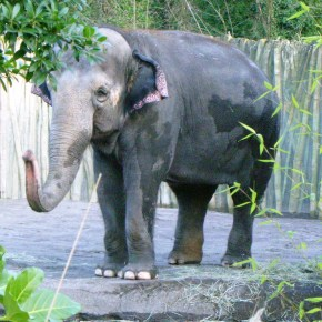 Save the Date for Packy at the Oregon Zoo  : Saturday 16 April 2016 : the Elephant's 54th Birthday RALLY,  This is Our Moment to Rescue Him