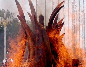 """Elephant Ivory & Rhino Horn Burn"" Event Hosted By Kenya Government & Kenya Wildlife Service Set To Begin on 29 April 2016 in Africa With the Inaugural ""Giants Club"" Summit Sending Strong Message to Poachers : What Price Can One Put on the Life of an Elephant?"